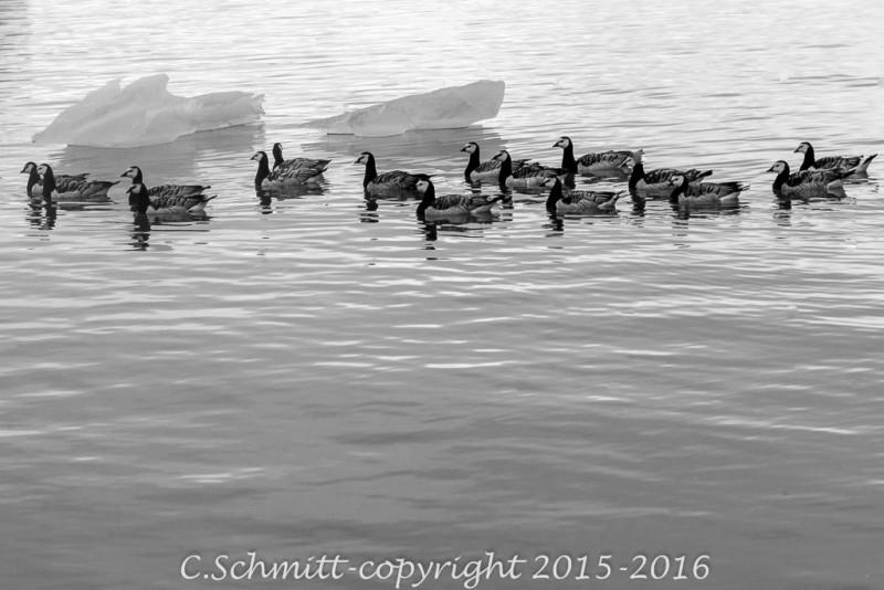 un groupe de canards au lagon de Jokulsarlon parmi les icebergs sud Islande photo noir et blanc