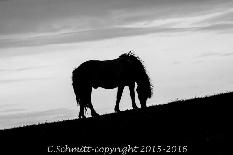 Cheval islandais au coucher de soleil photo noir et blanc