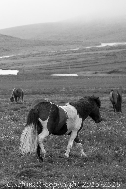 Chevaux islandais dans les prairies centre Islande photo noir et blanc