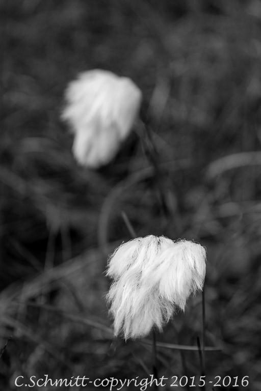 Linaigrettes de Scheuchzer d'Islande photo noir et blanc