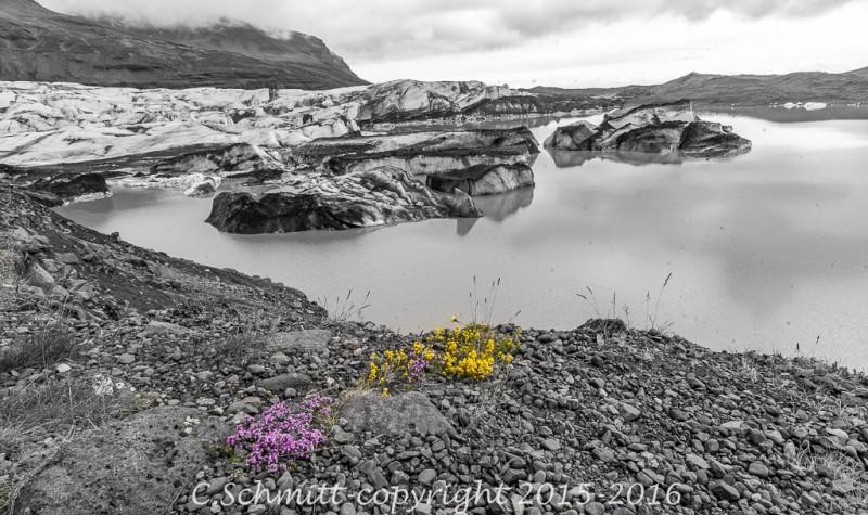 Bouquet de fleurs colorées au bord du lagon de Svinafell sud Islande photo noir et blanc