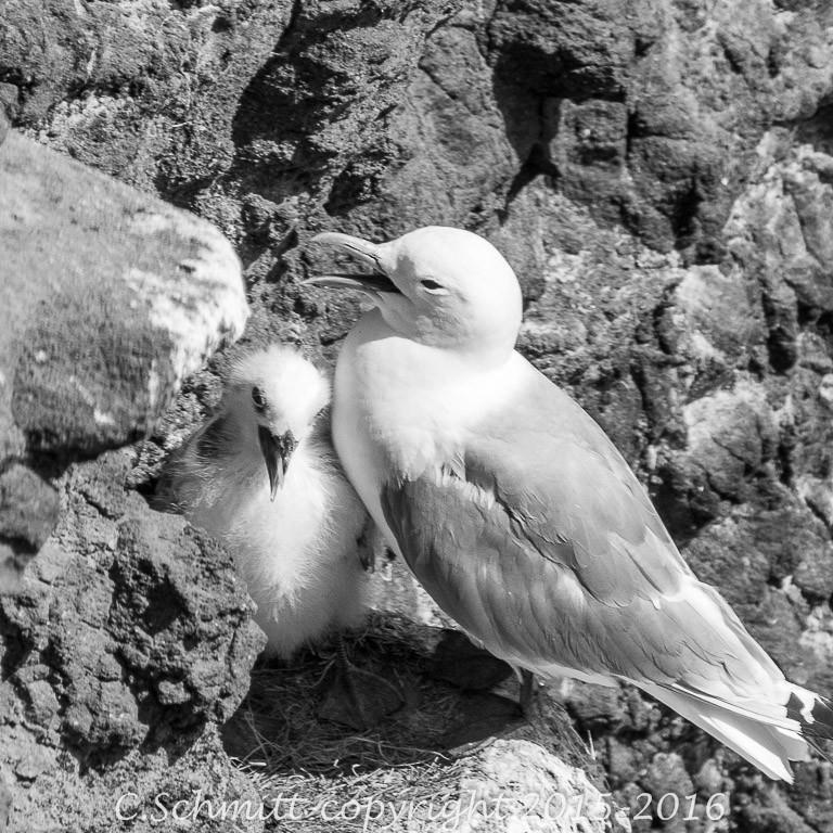 goéland avec son petit au nid sur les falaises de Reykjannes sud Islande photo noir et blanc