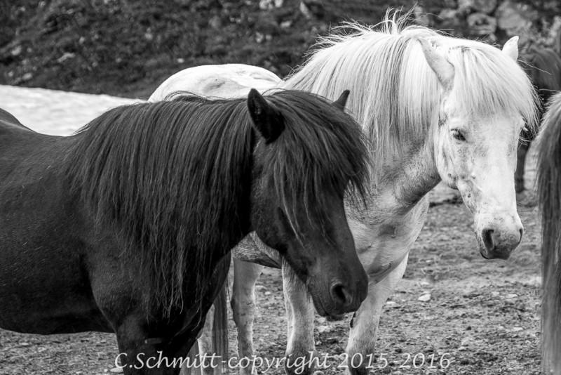 Couple de chevaux noir et blanc au Landmannalaugar centre Islande photo noir et blanc