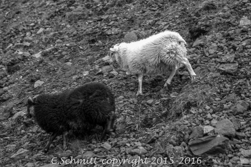 couple de moutons noir blanc sur les éboulis centre Islande photo noir et blanc