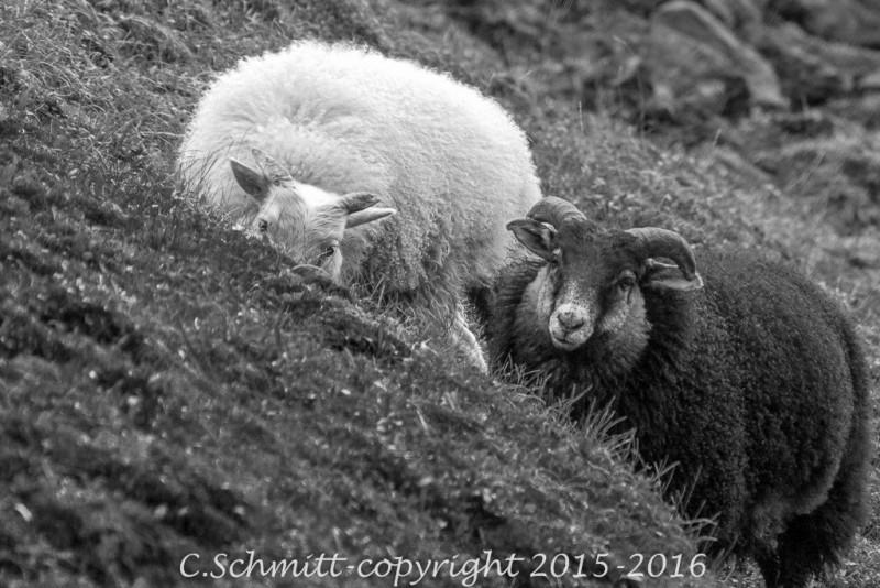 couple de moutons noir et blanc faille de l'Eldgja au centre Islande photo noir et blanc