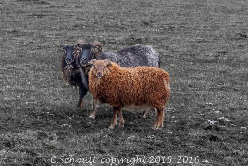 moutons par trois, une mère et deux petits noirs et brun centre Islande photo noir et blanc couleur