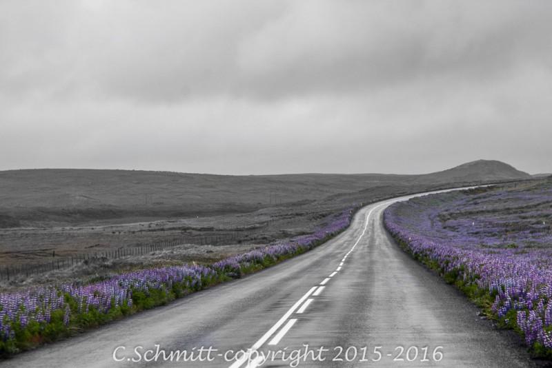 route vers le cap nord et Raudinapur bordée de lupins mauves photo noir et blanc couleur