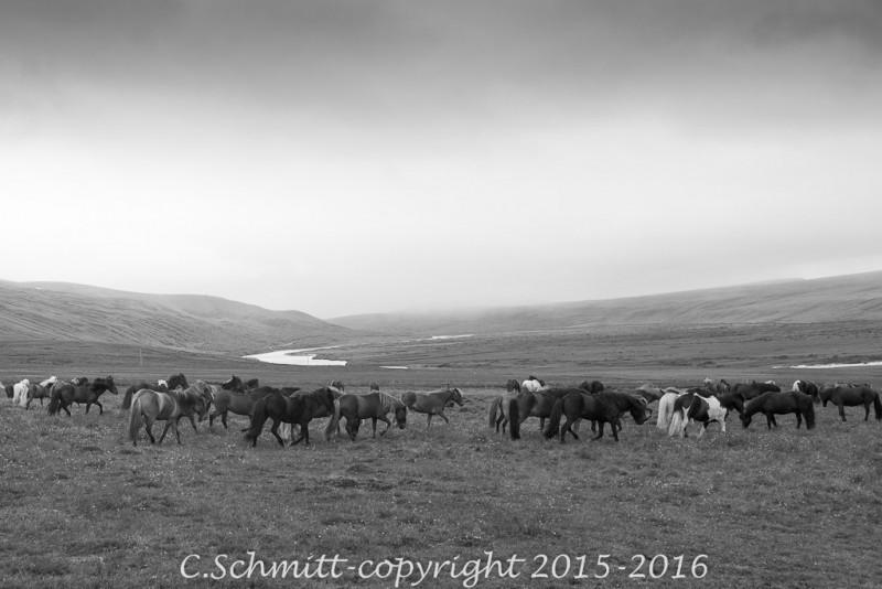 troupeau de chevaux dans une vallée centre Islande photo noir et blanc